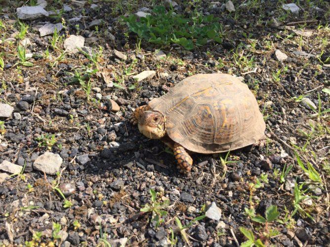 turtle on dirt